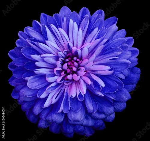 Poster Donkerblauw Chrysanthemum bright blue flower. On the black isolated background with clipping path. Closeup no shadows. Garden flower. Nature.