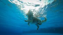 Golden Retriever Puppy Exercis...