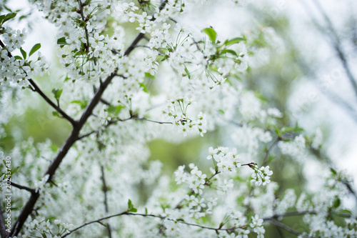 Fotobehang Bomen Beautiful cherry blossom on tree
