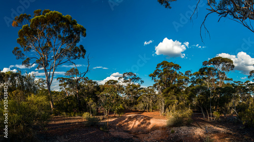 Foto op Aluminium Bomen gum tree forest in western australia and blue sky