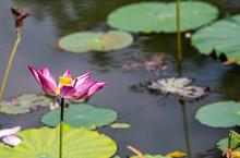 Beautiful Pink Lotus Flower Is A Vietnamese Lotus.