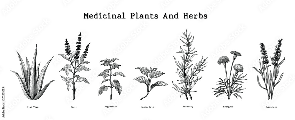 Fototapeta Medicinal plants and herbs hand drawing vintage engraving illustration