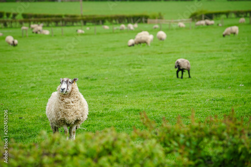 Foto op Canvas Schapen Sheep grazing on The Field, Cotswold, England