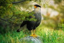 Bird Of The Caracara In The Torres Del Paine National Park. Autumn In Patagonia, The Chilean Side