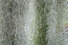 Tillandsia Usneoides Or Spanish Moss Or Dendropogon Usneoides Green Plant