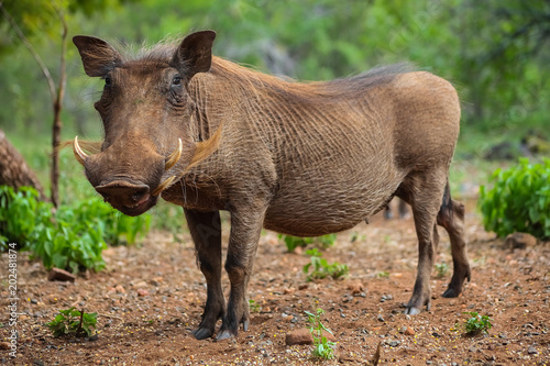 Photo  Wild  Warthog in a South African game reserve