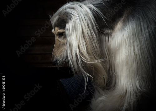 afghan hound portrait on dark background Canvas Print