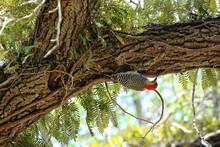 Red-bellied Woodpecker Looks F...