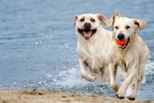 Labrador Dog Running In Splash...