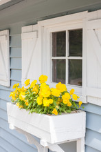Yellow Pansies Growing In A Wh...