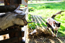 Goat And Cat On The Farm