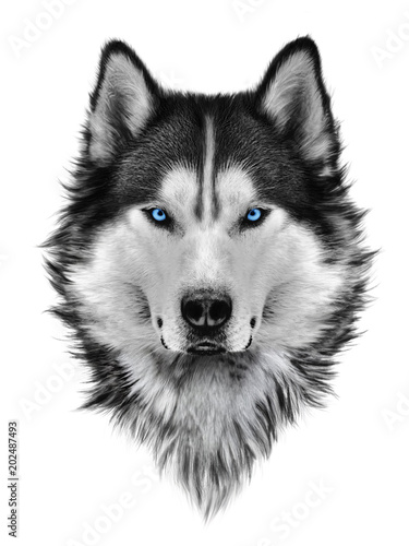 Illustration portrait of siberian husky, blue eyes, hair and mane, confident dog, militant look Canvas Print