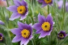 Three Anemone Flowers On Green...