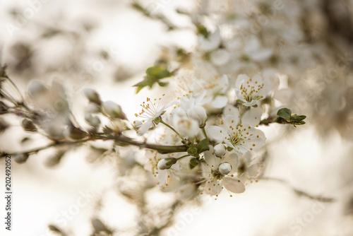 Obrazy kwiat jabłoni   wiosna-kwiat-wisni-galezi-drzewa-z-bliska