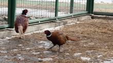 Colorful Beautiful Bird - Pheasant, Captive Behind Bars In Zoo. Golden Pheasant Or Chinese Pheasant. 4K
