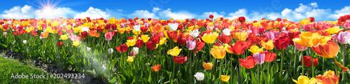 Tulpen im Frühling - Tulpenfeld Panorama - Glück, Freude und Frühlingsgefühle.