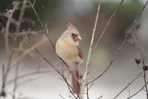 close-up female bird  northern cardinal from virginia Canvas Print