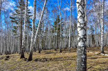Early Spring Sunny Landscape In The Birch Grove
