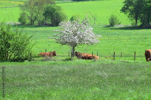 Poster Lime groen Kühe auf der Weide