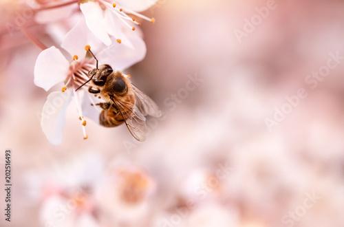 Fotografia Little bee on blooming cherry