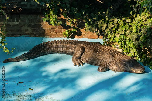 Foto op Plexiglas Krokodil Crocodile in the pool