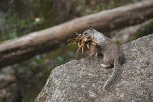 Squirrel Of Yosemite National Park - California Usa