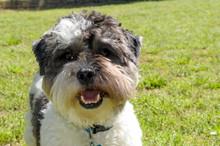 Happy Maltipoo Puppy Portrait