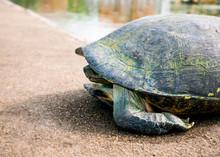 Schildkröte Mit Eingezogenem Kopf