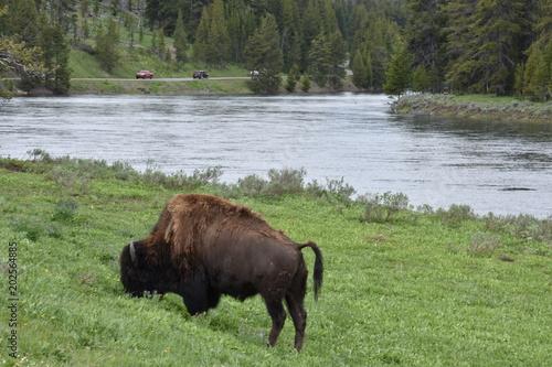 Foto op Aluminium Buffel Bison, Yellowstone National Park, Buffalo, Wild Animals, Mammals, Nature, Grasslands, Mating, National Park, Wyoming