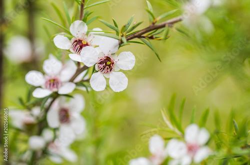 Türaufkleber Makrofotografie Manuka Flower, from which honey with medicinal benefits is made