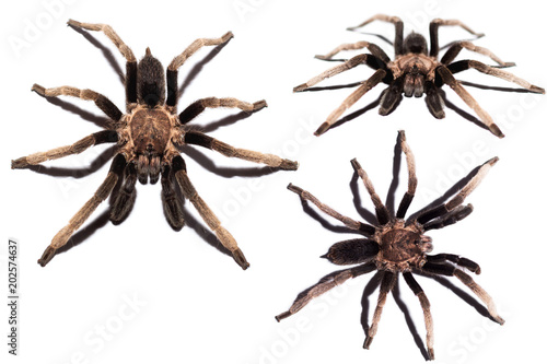 Isolated spider on white background, black curly-hair tarantula Brachypelma albo Wallpaper Mural