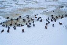 Ducks In Winter On The River Bank