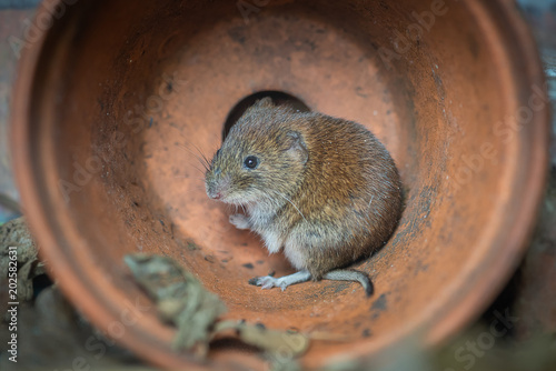 Fotomural  A close up photograph pf a small bank vole rodent hiding from predators in a fal