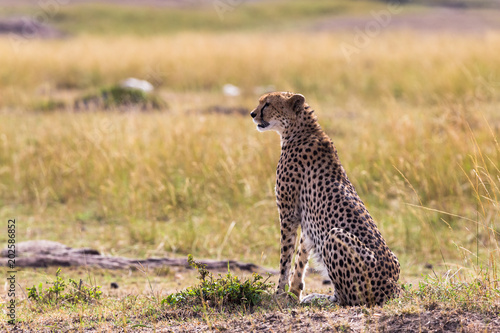 Staande foto Buffel The cheetah watches the savannah. Masai Mara, Kenya