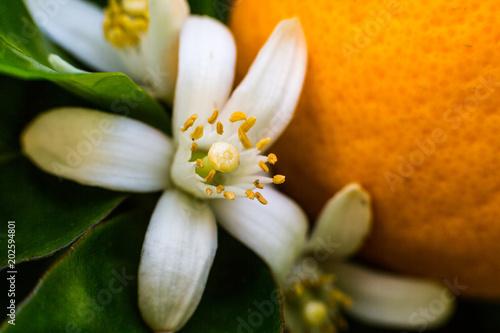 Neroli flowers and bright orange fruit Tapéta, Fotótapéta
