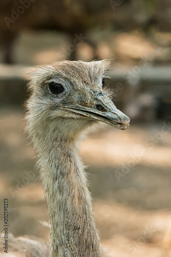 Poster Struisvogel Closeup of Common ostrich