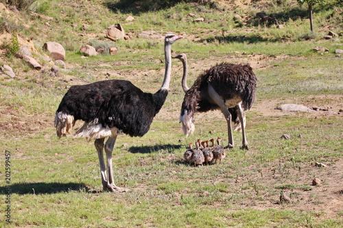 In de dag Struisvogel Straußen Familie mit Straußen Babies