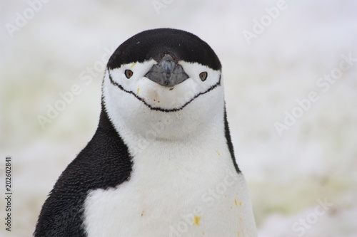 Tuinposter Antarctica Zügelpinguin- Antarktis