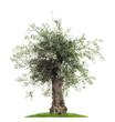 canvas print picture - Freisteller Olivenbaum mit Oliven vor weißem Hintergrund  - Olive tree with olives on a white background