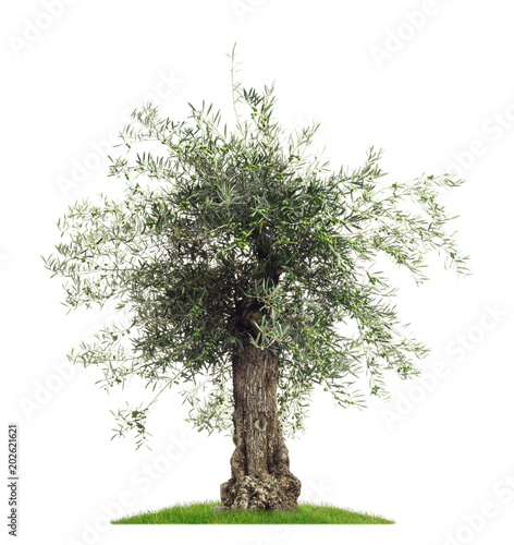 Papiers peints Oliviers Freisteller Olivenbaum mit Oliven vor weißem Hintergrund - Olive tree with olives on a white background