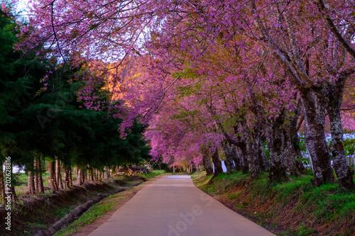 Foto op Plexiglas Crimson Cherry blossom in Khun Wang ChiangMai, Thailand.