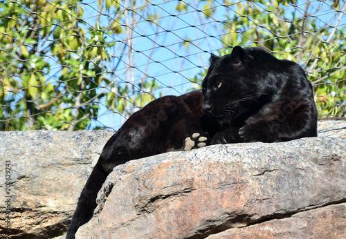 Photo Stands Panther pantera