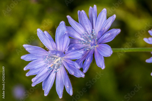 Fototapeta Field flower cornflower obraz na płótnie