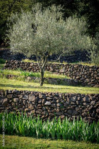 un jeune arbre, un olivier seul sur un plateau avec un muret de pierre