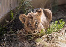 Lion Cub Chewing On A Plant Br...
