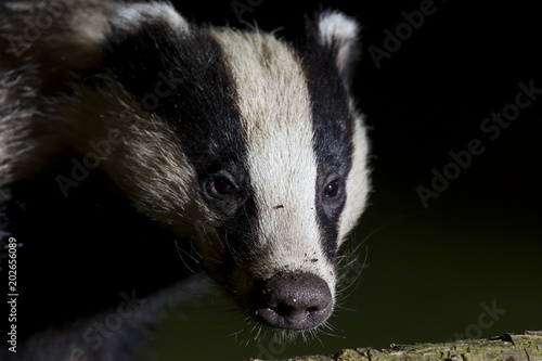 Canvas-taulu Garden Badger