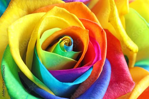 Fototapety, obrazy: Amazing rainbow rose flower as background