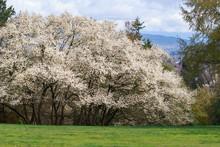 White Flowers Dogwood Tree