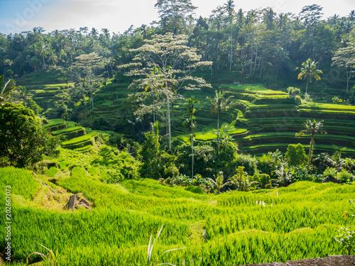 Poster Lime groen Reisterrassen Bali
