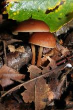 Champignon Amanite Vaginée